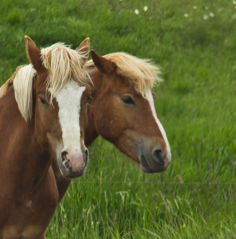Two Headed Horse | www.pixshark.com - Images Galleries ...