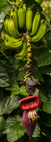 banana flower and fruit