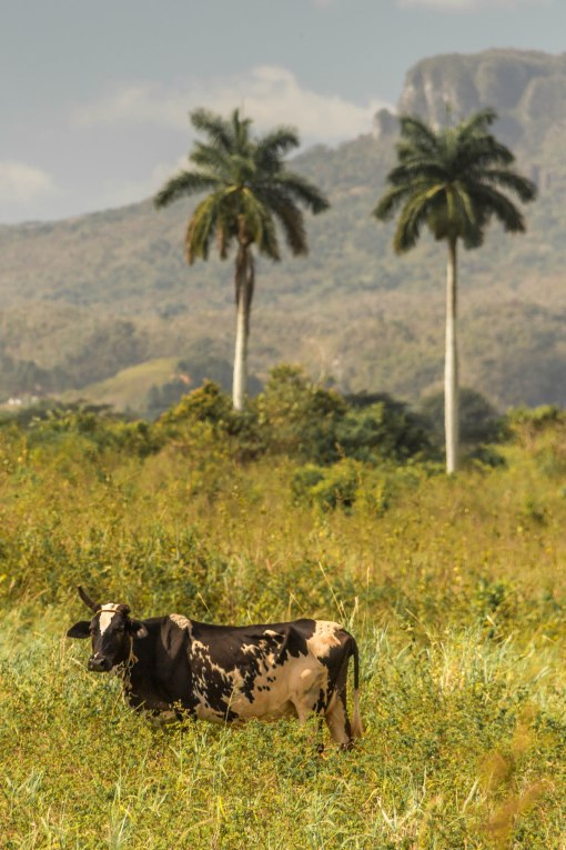 cow and palms