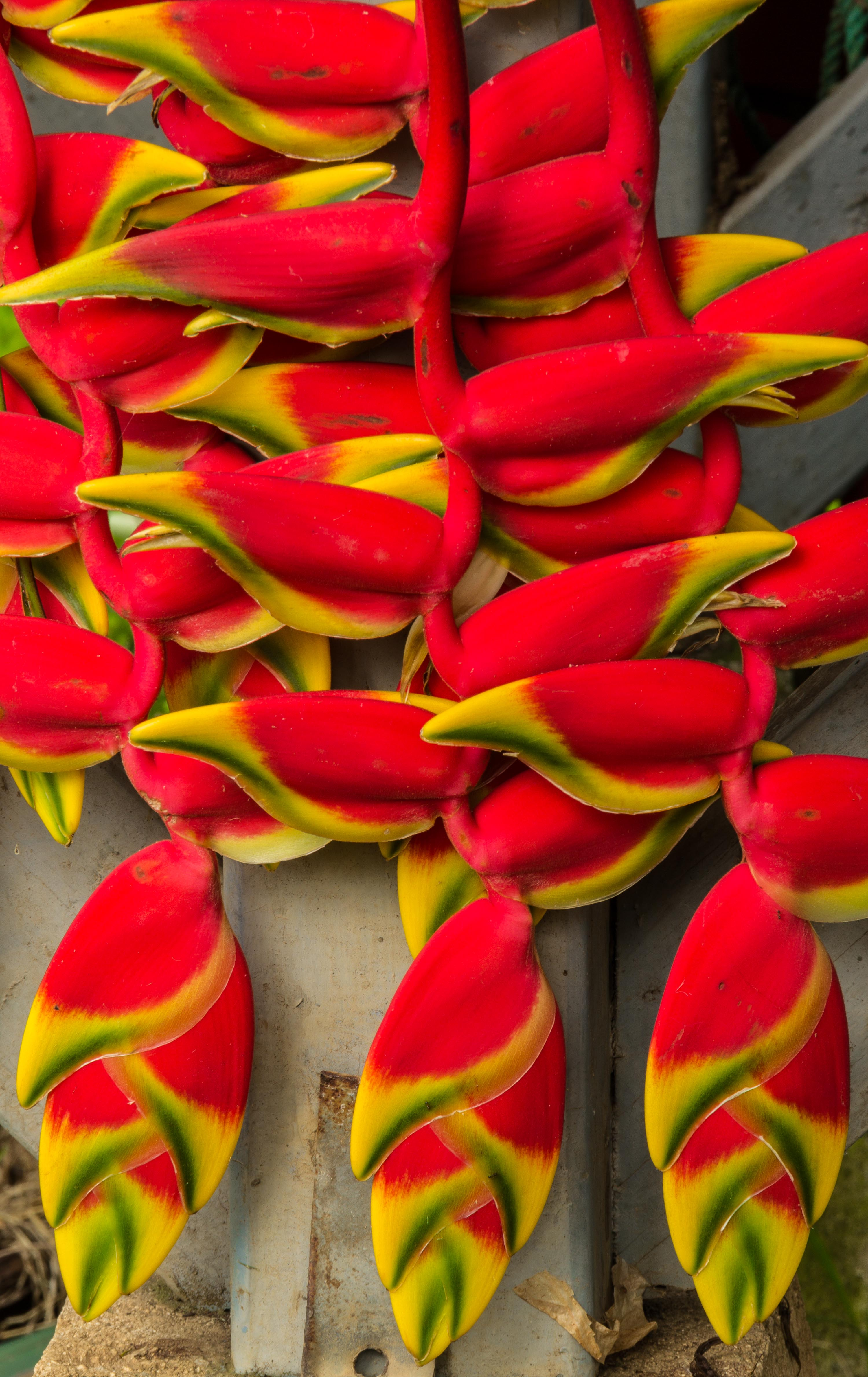 Heliconia Rprtphoto