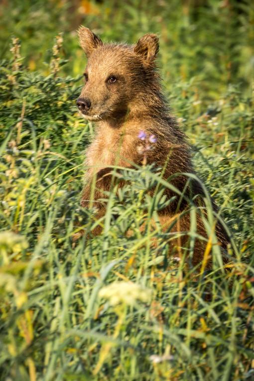 cub in meadow