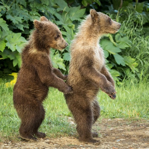 grizzly cubs standing sideways