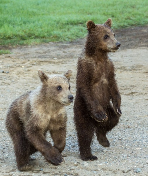 grizzly cubs standing