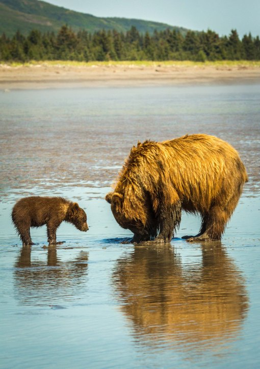 Sow and Cub Clamming