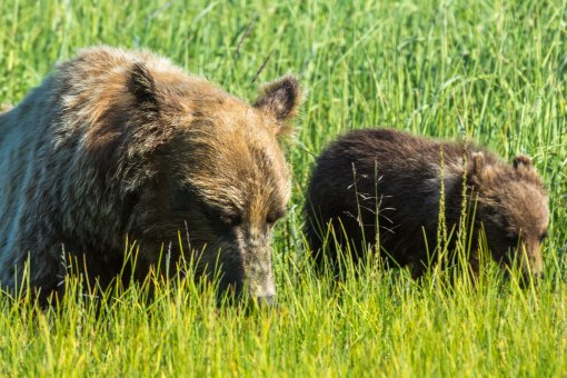 Sow and cub grazing