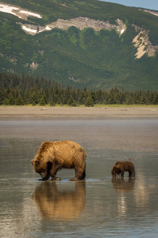clamming grizzlies