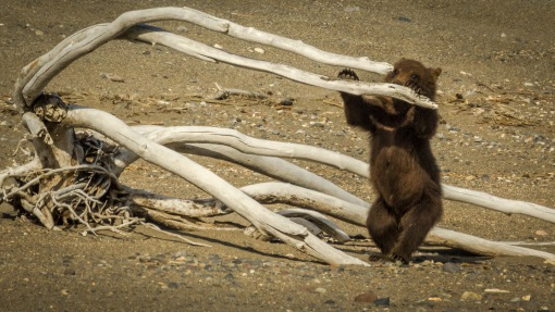 cub with driftwood