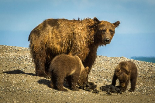 grizzly bears with scat-2