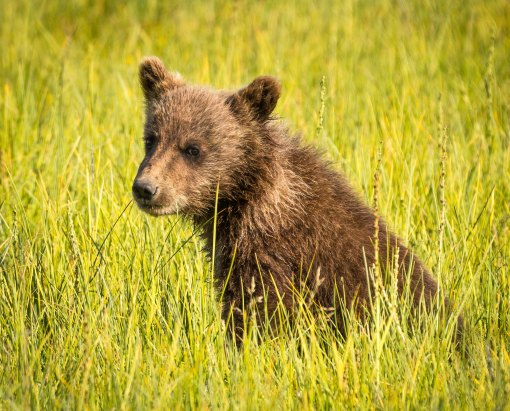 Grizzly Cub Grazing