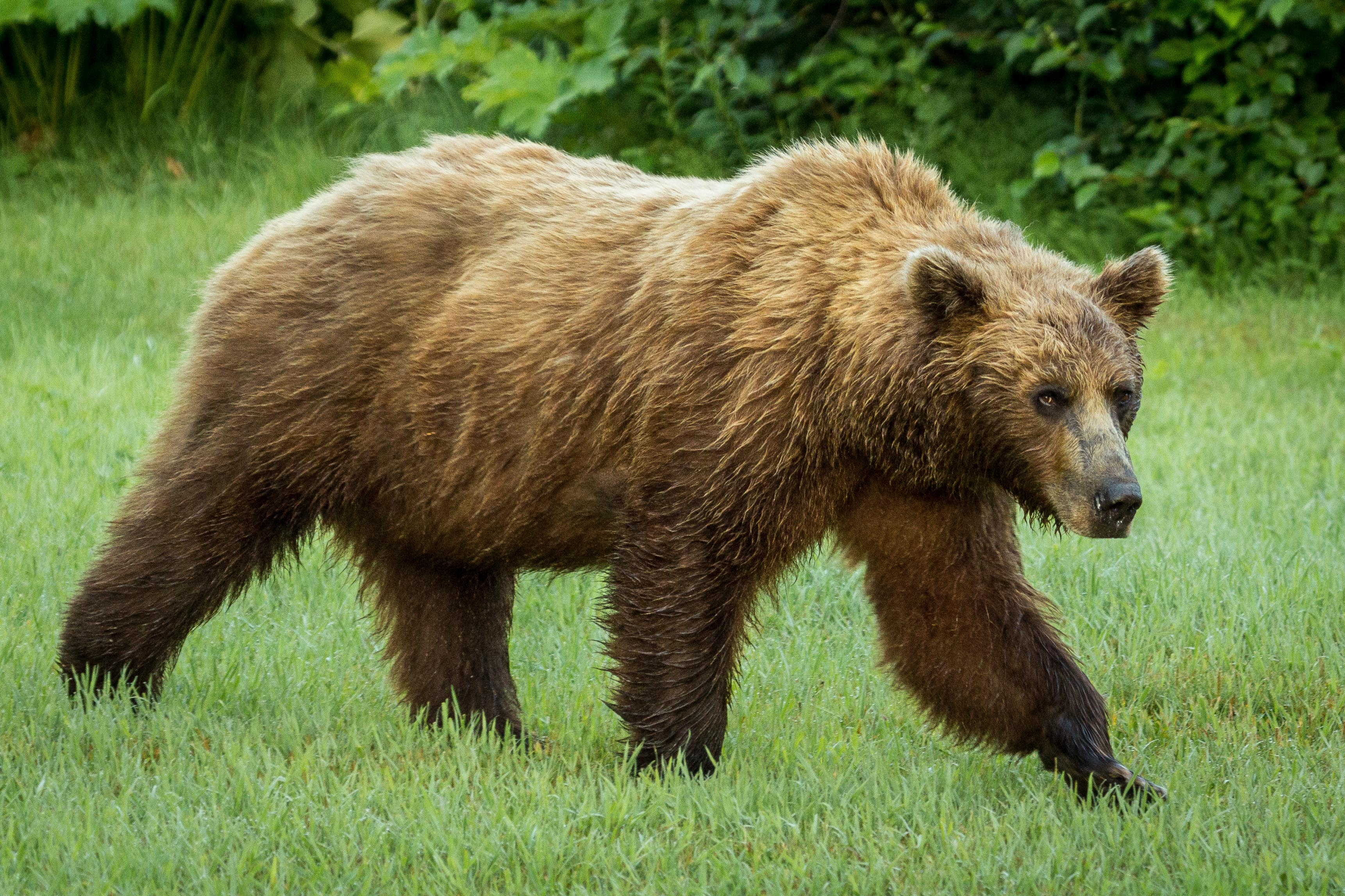 Grizzly bear walking - photo#14