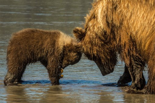 Sow and cub clamming 2