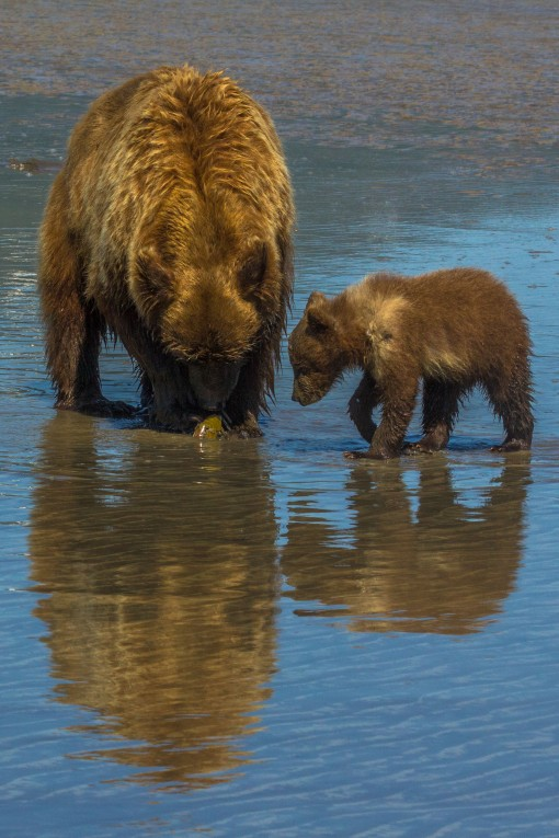 Sow and cub clamming 3