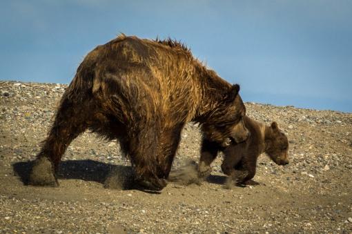 sow chasing cub
