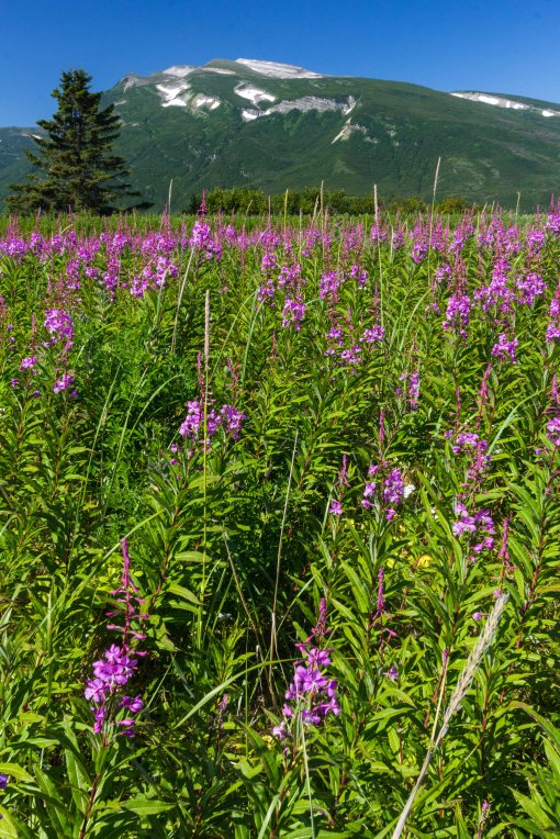 Fireweed meadow