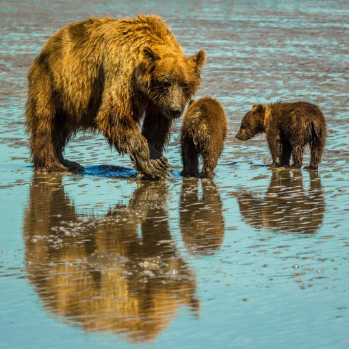 grizzlies clamming