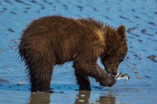 Grizzly Cub eating clam