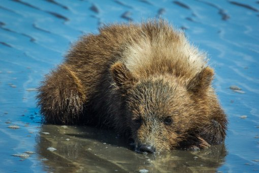 Grizzly Cub in water