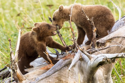 Grizzly Cub Play 2
