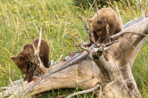 Grizzly Cub Play 3