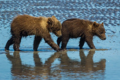 Grizzly Cubs Walking Together-2