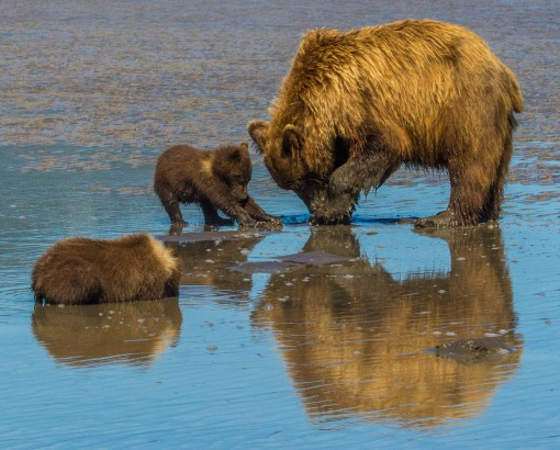 Sow and cub clamming 4