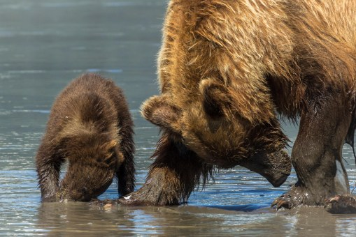Sow and cub clamming 5
