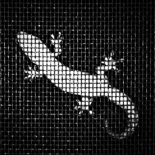 Gecko on Screen