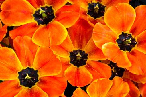 orange tulips open