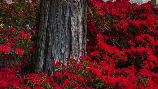 red azaelas