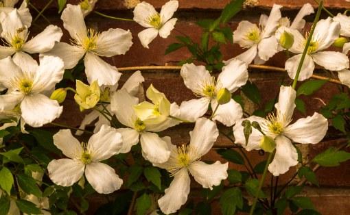 white clematis vine