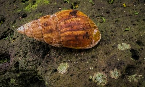 hawaiian snail