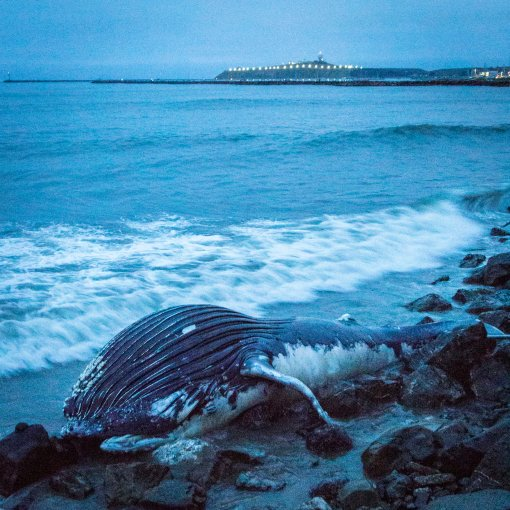 Dead Humpback Whale Calf