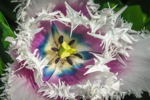 Tulip spiky