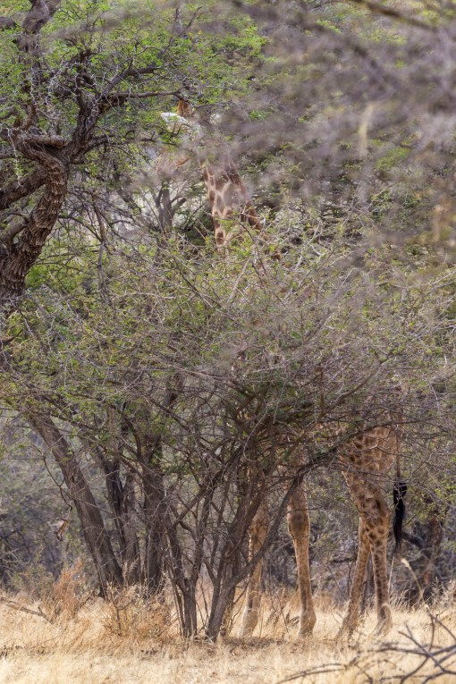 Giraffe hidden by bush