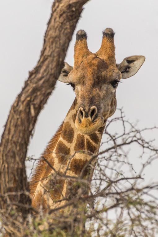giraffe above foliage