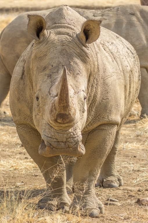 Rhino front