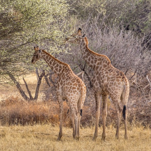 two giraffes grazing