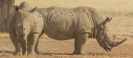 two rhinos front and side view-2