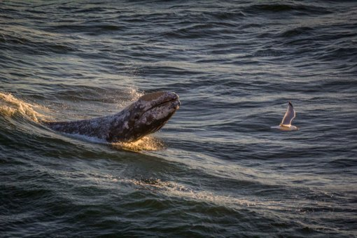 Grey Whale Calf and Gull