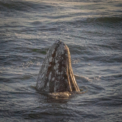 Grey Whale Calf Spyhopping